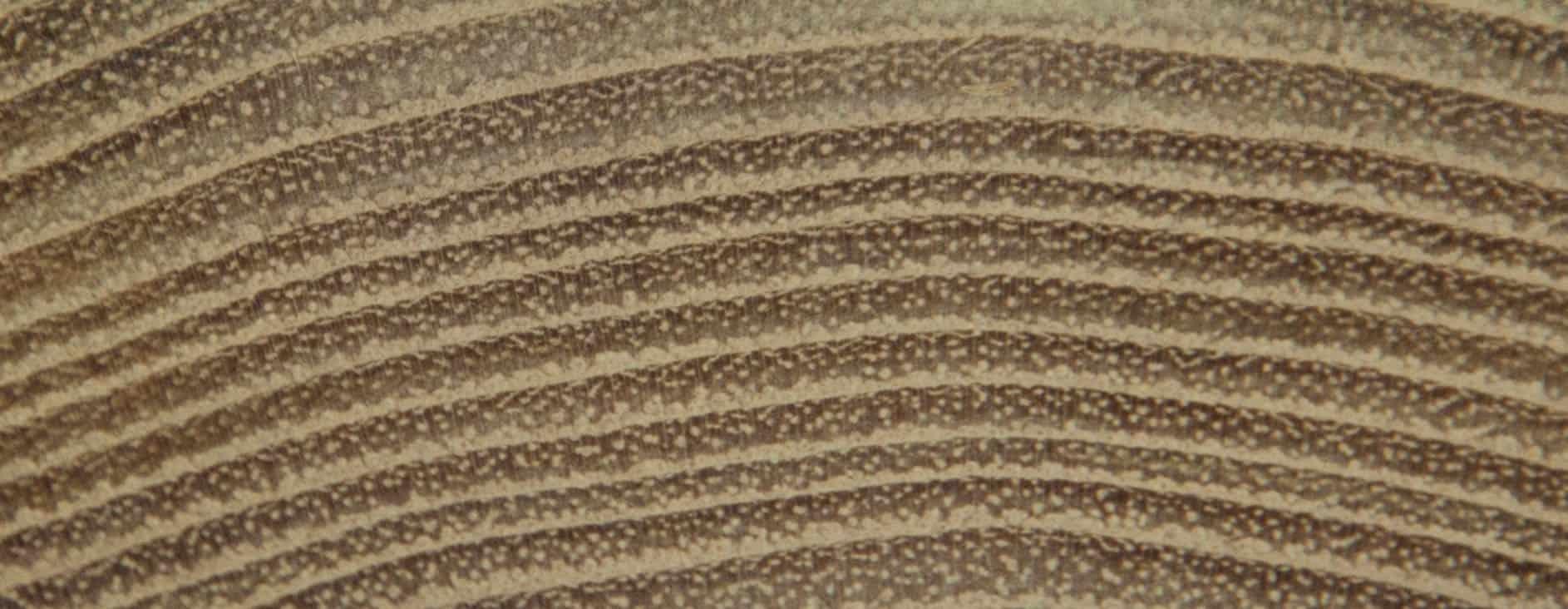 texture tranche de robinier